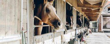Ecurie avec les chevaux dans leur box