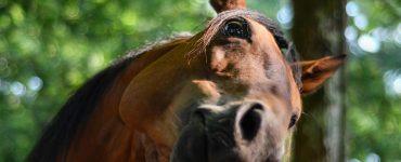courbatures-cheval