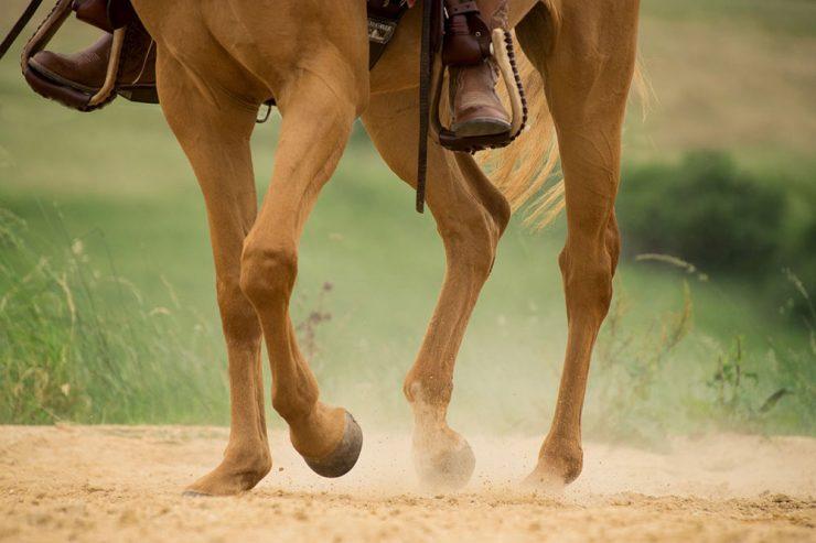 membres chevaux