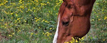 cheval au pré, au printemps
