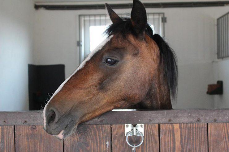 cheval dans box