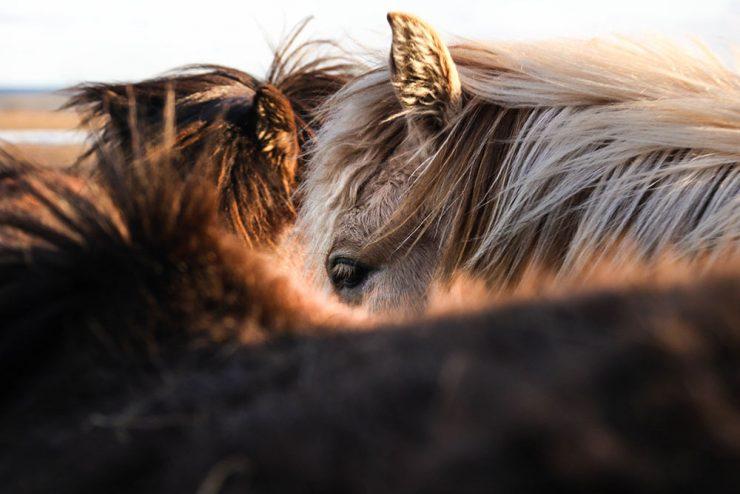 têtes de chevaux