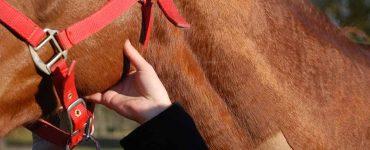 Prendre le pouls de son cheval