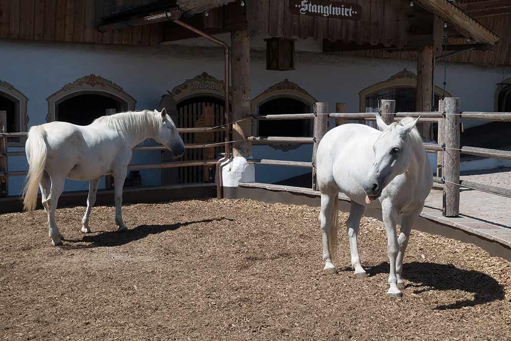 Deux chevaux lipizzans dans leur enclos