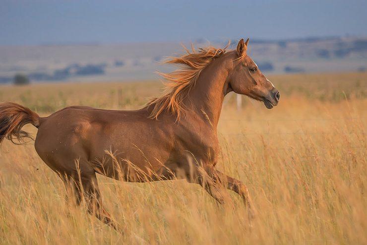 cheval tondu