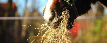 Cheval qui mange de la paille
